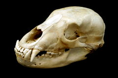 Cráneo del oso Fotografía de archivo