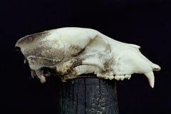 Cráneo del oso de Brown Vista lateral imagenes de archivo