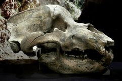 Cráneo del oso de la cueva imagen de archivo libre de regalías