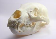 Cráneo del oso negro Imágenes de archivo libres de regalías
