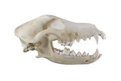 Cráneo del perro aislado en un fondo blanco Fotografía de archivo