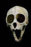 Cráneo del primate Fotografía de archivo