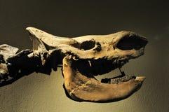Cráneo del rinoceronte Imagenes de archivo