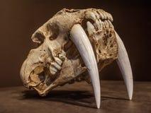 Cráneo del tigre del diente del sable fotos de archivo