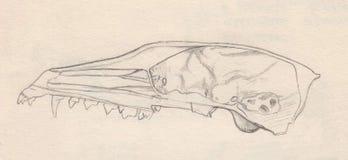 Cráneo del zorro ártico libre illustration
