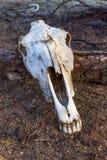 Cráneo en el desierto Imagen de archivo