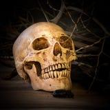 Cráneo en fondo de madera y seco de la rama foto de archivo libre de regalías