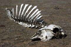 Cráneo en hierba Fotografía de archivo