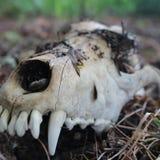 Cráneo en la hierba Foto de archivo