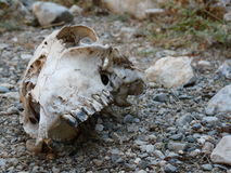 Cráneo en la tierra Imagenes de archivo