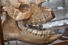 Cráneo fósil Fotos de archivo libres de regalías