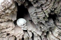 Cráneo humano en el hueco del trozo, madera vieja en todavía del bosque el estilo de vida Fotos de archivo