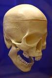 Cráneo humano plástico Foto de archivo libre de regalías
