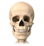 Cráneo humano, vista delantera. Imagen de archivo libre de regalías