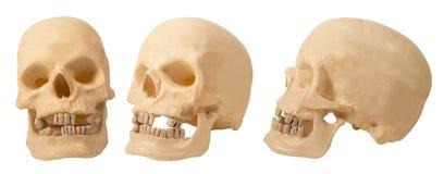 Cráneo (plástico) tres ángulos Fotos de archivo libres de regalías