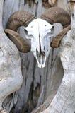 Cráneo principal de la cabra Fotografía de archivo libre de regalías