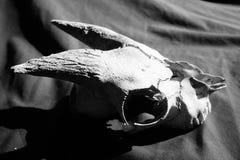 Cráneo resistido de la cabra en blanco y negro fotos de archivo