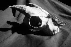 Cráneo resistido viejo de la cabra en blanco y negro imagen de archivo