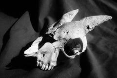 Cráneo viejo de la cabra en blanco y negro fotos de archivo