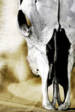 Cráneo viejo del ganado (ascendentes cercanos) Fotografía de archivo