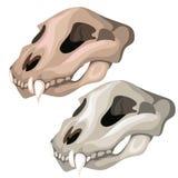 Cráneo viejo del tigre sable-dentado o del otro animal ilustración del vector