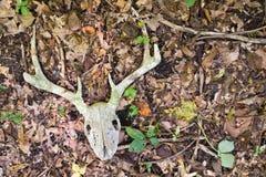 Cráneo y cornamentas Blanco-Atados de los ciervos Imagen de archivo libre de regalías