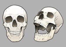 Cráneos 03 Foto de archivo libre de regalías