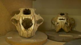 Cráneos carnívoros de los animales almacen de metraje de vídeo
