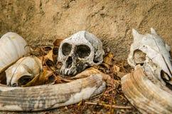 Cráneos de un mono y de un pequeño antílope Fotografía de archivo libre de regalías