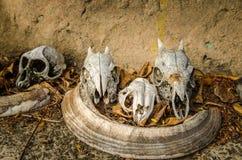Cráneos de un mono y de un pequeño antílope Foto de archivo libre de regalías