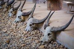 Cráneos del búfalo Imagenes de archivo
