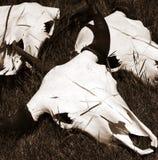 Cráneos del buey Fotografía de archivo libre de regalías