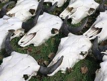 Cráneos del oeste salvajes del ganado Fotos de archivo libres de regalías