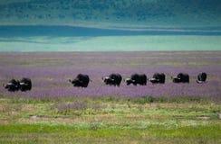 Cráter de Ngorongoro de la migración del búfalo, Tanzania imagenes de archivo