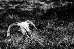 Crâne à cornes du ` s de Ram en noir et blanc Images libres de droits