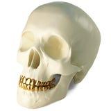 Crâne Photos stock