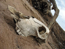 Crâne animal Image stock