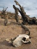 Crâne animal Image libre de droits
