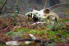 Crâne animal dans la forêt foncée Image stock