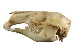Crâne animal de kangourou d'isolement sur un fond blanc Image libre de droits