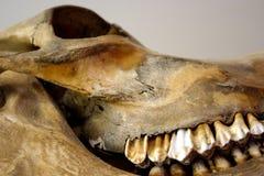 Crâne antique Images libres de droits