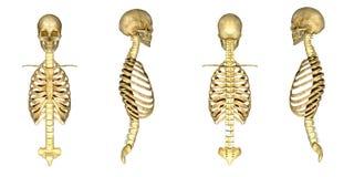 Crâne avec la cage thoracique illustration libre de droits