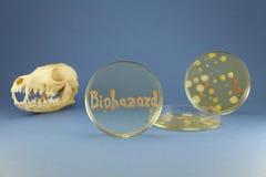 Crâne, boîtes de Pétri et inscription animaux de biohazard par les colonies bactériennes Photo stock