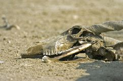 Crâne d'Eland Image libre de droits