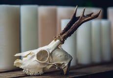 crâne d'un animal avec des klaxons images stock