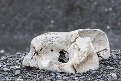 Crâne d'un joint Photographie stock