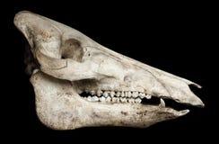 Crâne d'un porc Images stock