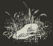 Crâne d'un prédateur Image libre de droits