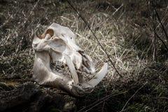 Crâne d'un sanglier Photographie stock