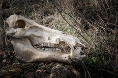 Crâne d'un sanglier dans un style foncé Photo stock